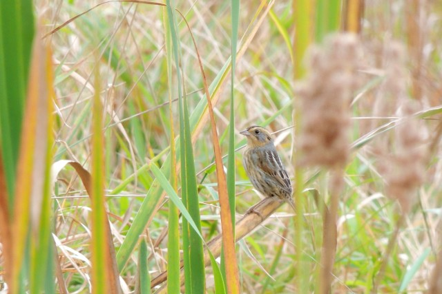 Nelson's Sparrow at 6 1/2 Station Road 10/16/13