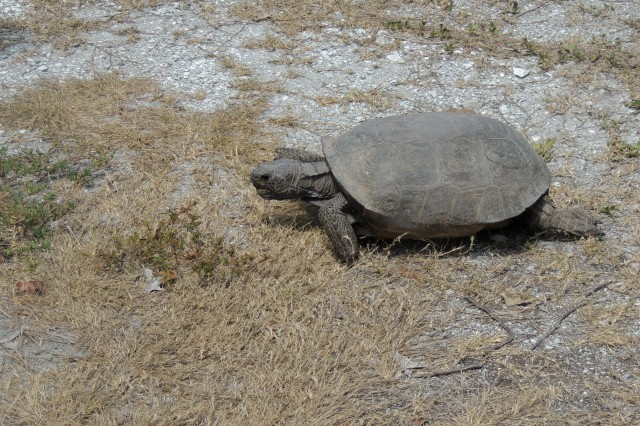 The Gopher Tortoise chowing down.