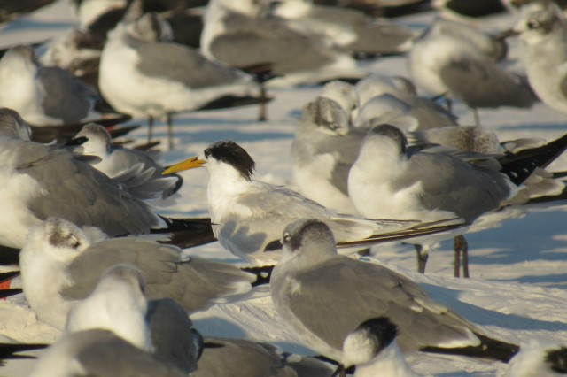 Cayenne Tern, note the long yellow-green bill, shaggy black crest and darker hue and larger size than the Sandwich Terns.